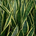 Snake Plant CareNAKE PLANT CARE: HOW TO GROW THIS HOUSEPLANT